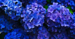 Blue Flowers for Landscaping